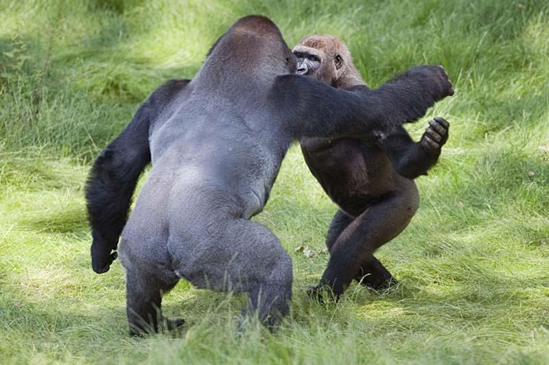 gorillas 1 Трогательная встреча двух братьев горилл после долгой разлуки
