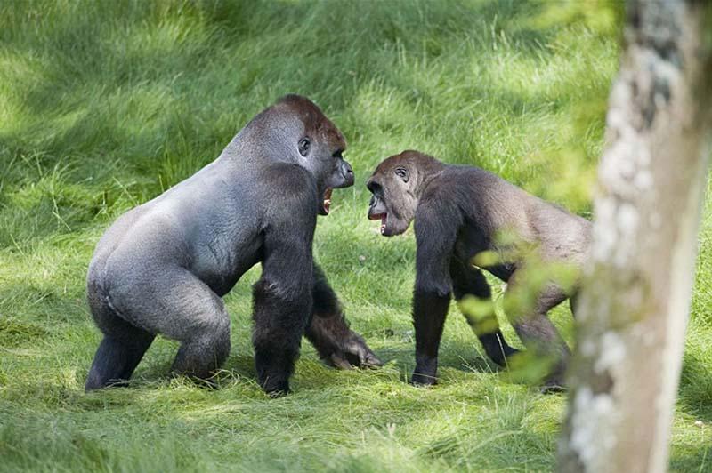 gorillas 3 Трогательная встреча двух братьев горилл после долгой разлуки
