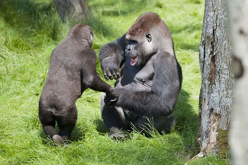 gorillas 4 Трогательная встреча двух братьев горилл после долгой разлуки