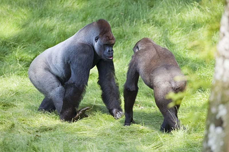 gorillas 5 Трогательная встреча двух братьев горилл после долгой разлуки