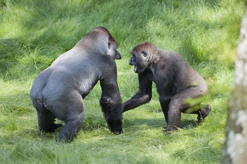 gorillas 7 Трогательная встреча двух братьев горилл после долгой разлуки