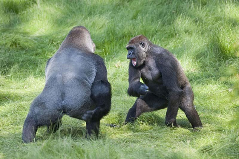 gorillas 8 Трогательная встреча двух братьев горилл после долгой разлуки