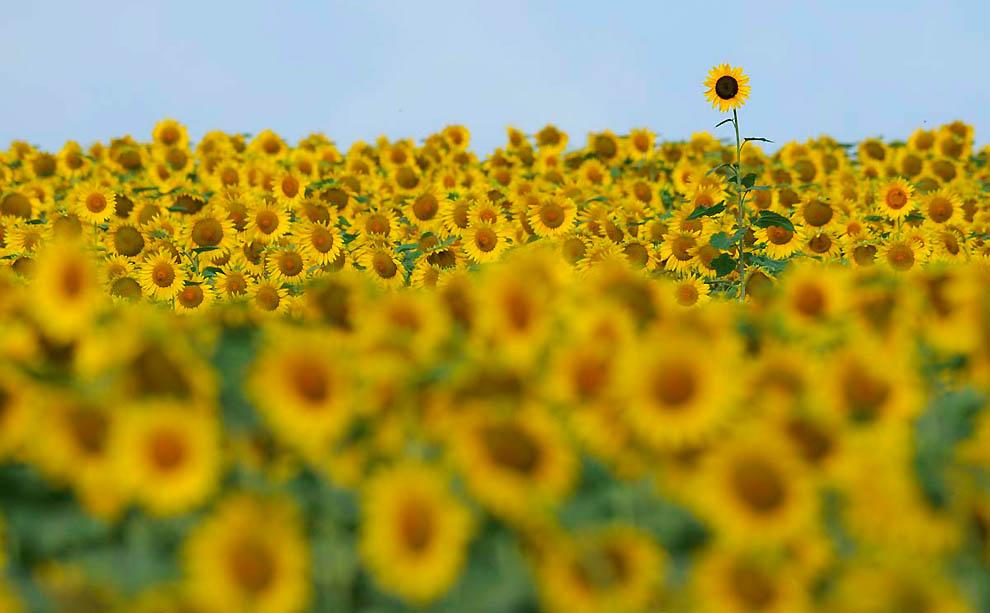 В кадре — солнечное золото подсолнухов