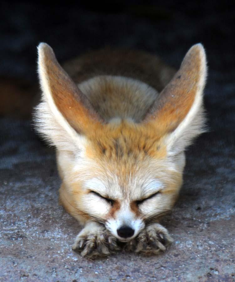 Fennec Fox 12 Лисичка фенек
