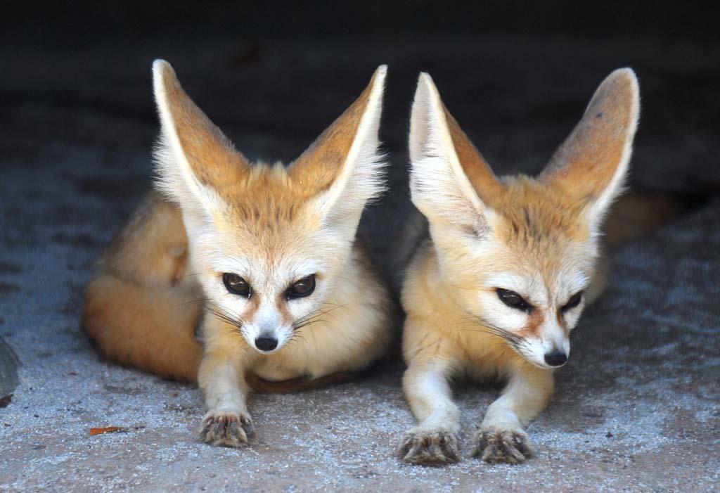 Fennec Fox 13 Лисичка фенек