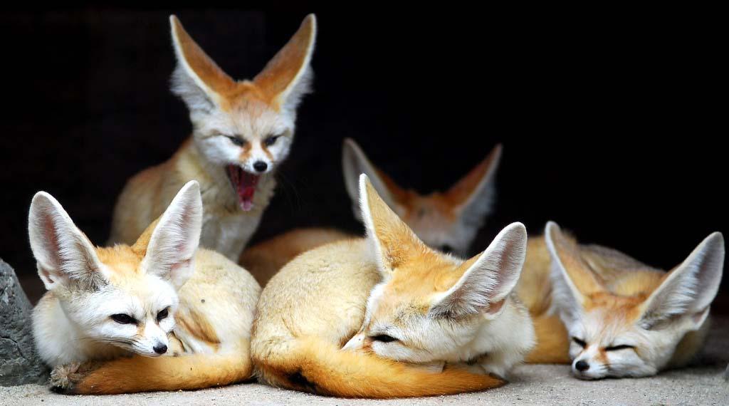 Fennec Fox 5 Лисичка фенек
