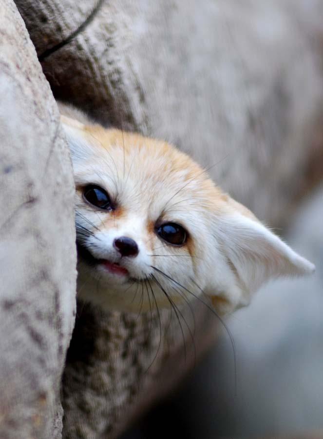Fennec Fox 7 Лисичка фенек