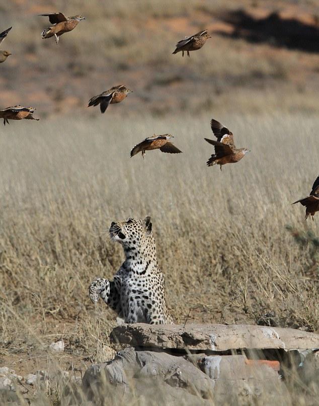 Flappy Meal 1 Быстрый перекус для леопарда
