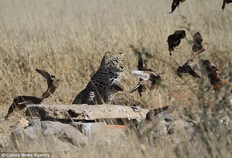 Быстрый перекус для леопарда