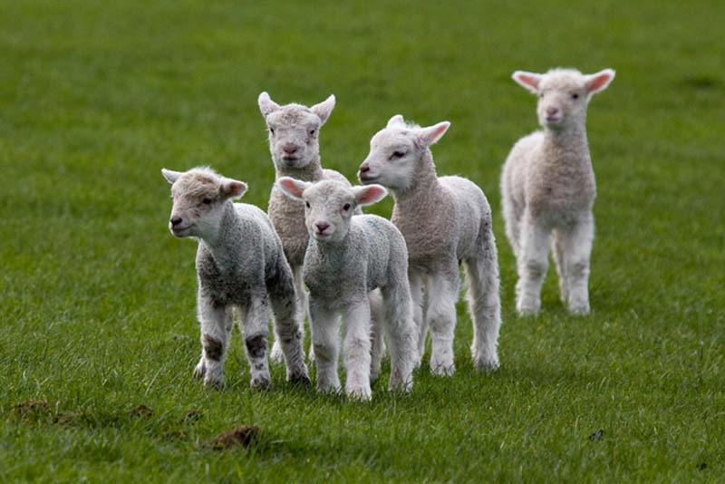 Fuzzy Little Lamb 1 Умильные ягнята