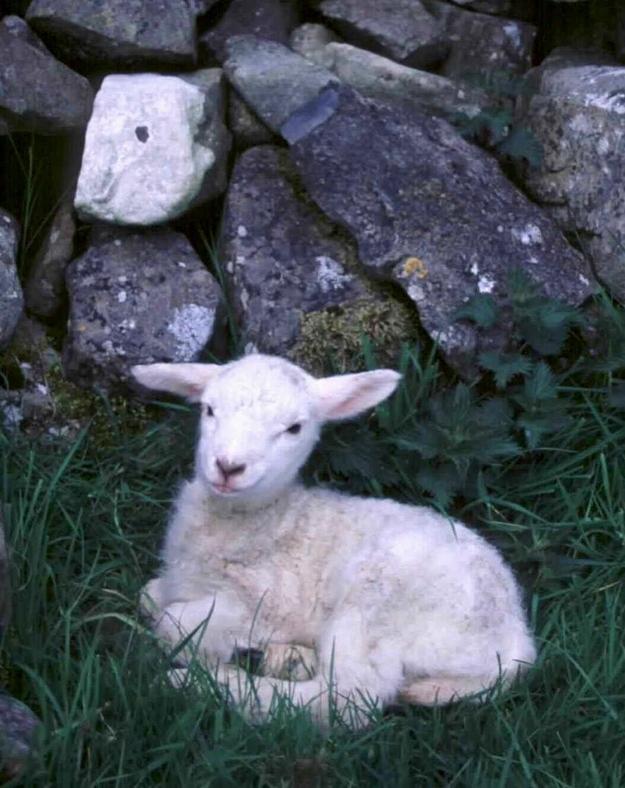 Fuzzy Little Lamb 10 Умильные ягнята