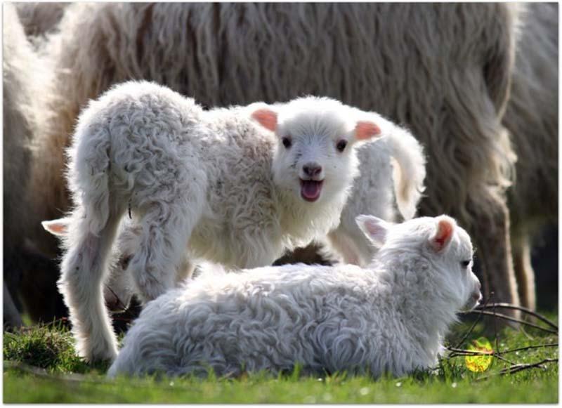 Fuzzy Little Lamb 12 Умильные ягнята