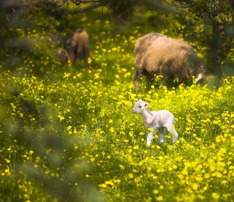 Fuzzy Little Lamb 13 Умильные ягнята