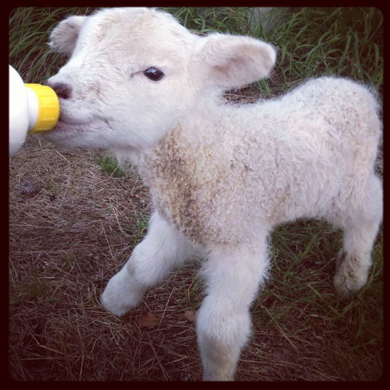 Fuzzy Little Lamb 14 Умильные ягнята