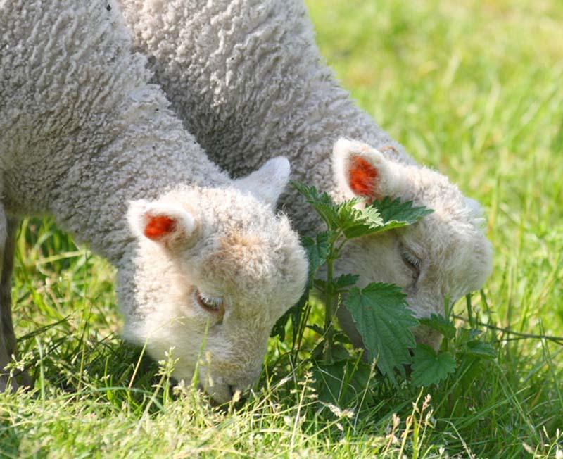 Fuzzy Little Lamb 15 Умильные ягнята