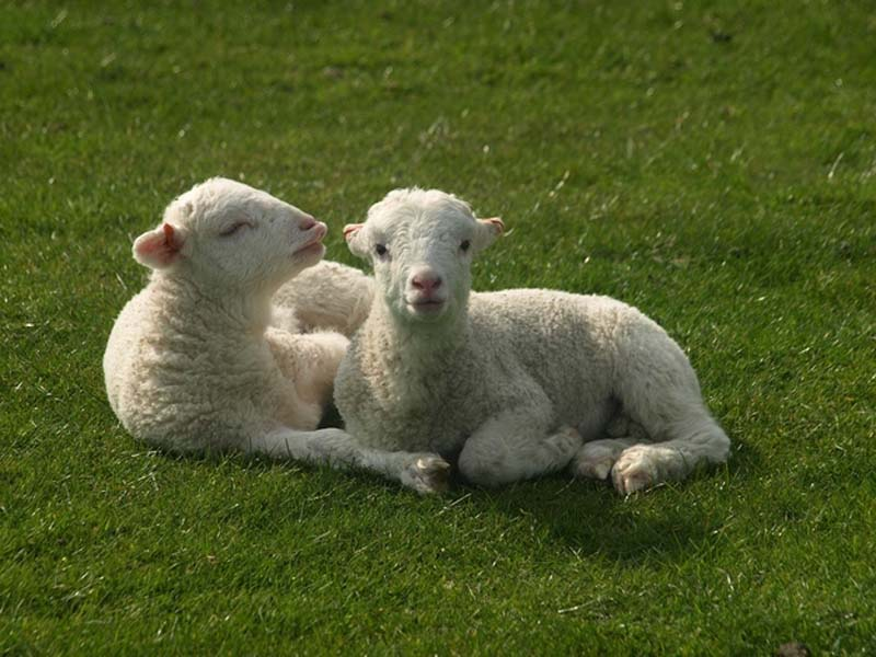 Fuzzy Little Lamb 16 Умильные ягнята