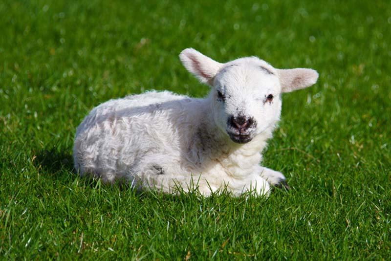 Fuzzy Little Lamb 18 Умильные ягнята