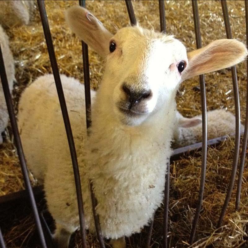 Fuzzy Little Lamb 19 Умильные ягнята