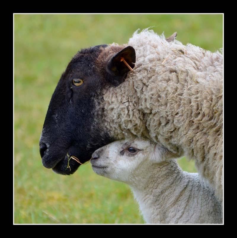 Fuzzy Little Lamb 2 Умильные ягнята