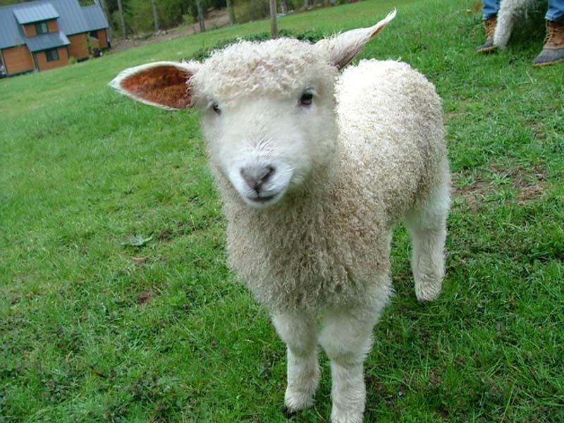 Fuzzy Little Lamb 20 Умильные ягнята