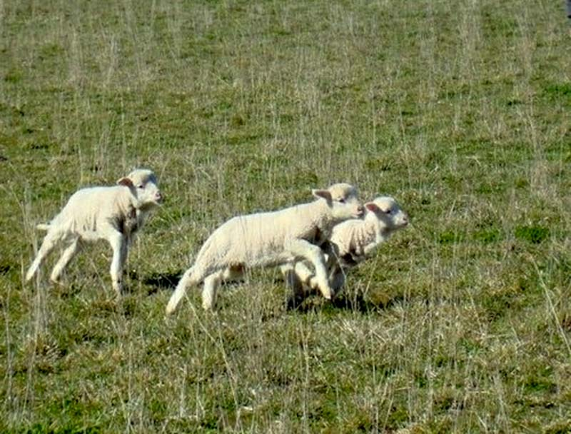 Fuzzy Little Lamb 21 Умильные ягнята