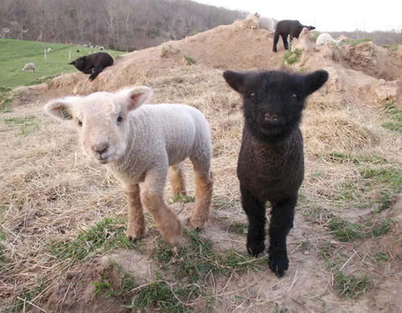Fuzzy Little Lamb 22 Умильные ягнята