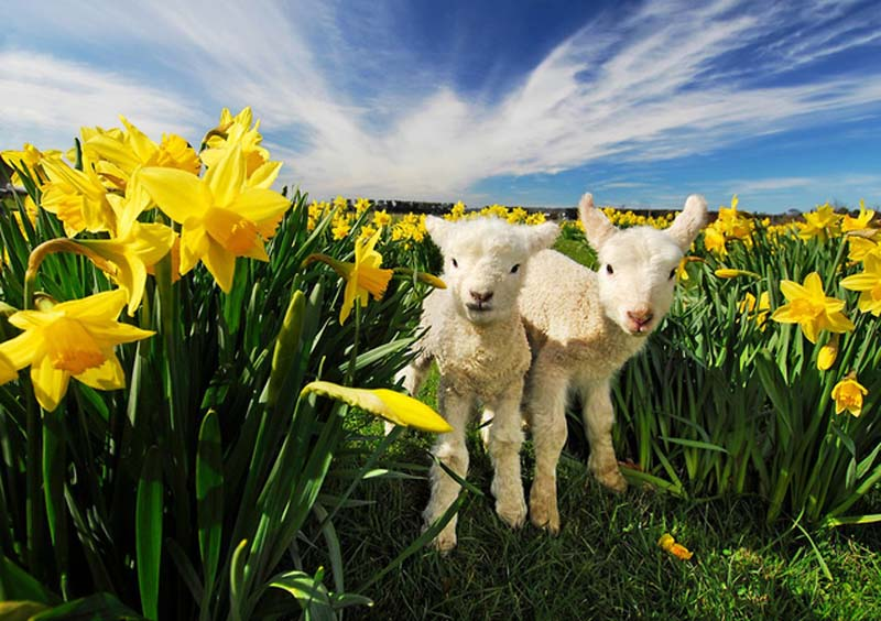 Fuzzy Little Lamb 24 Умильные ягнята