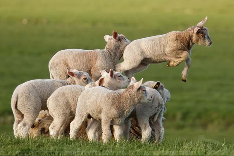 Fuzzy Little Lamb 25 Умильные ягнята