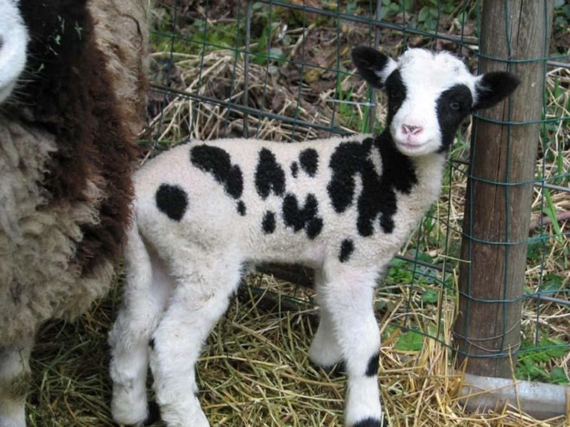 Fuzzy Little Lamb 26 Умильные ягнята