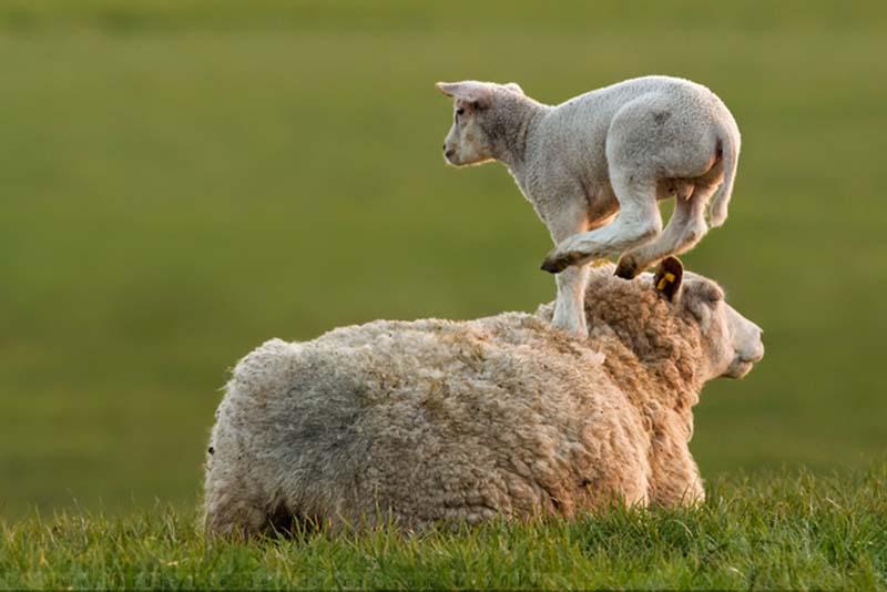 Fuzzy Little Lamb 28 Умильные ягнята