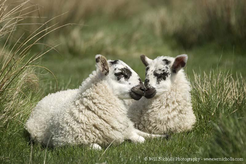 Fuzzy Little Lamb 29 Умильные ягнята