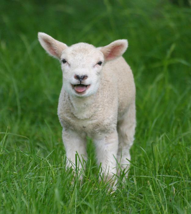 Fuzzy Little Lamb 3 Умильные ягнята