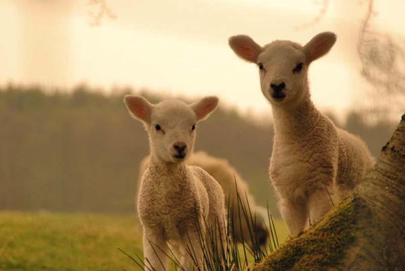 Fuzzy Little Lamb 30 Умильные ягнята