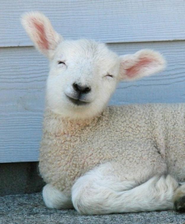 Fuzzy Little Lamb 31 Умильные ягнята