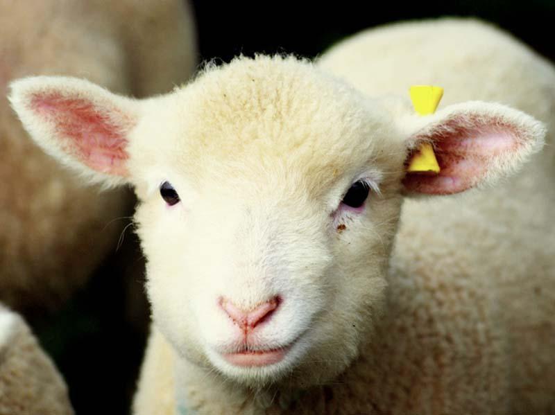 Fuzzy Little Lamb 4 Умильные ягнята