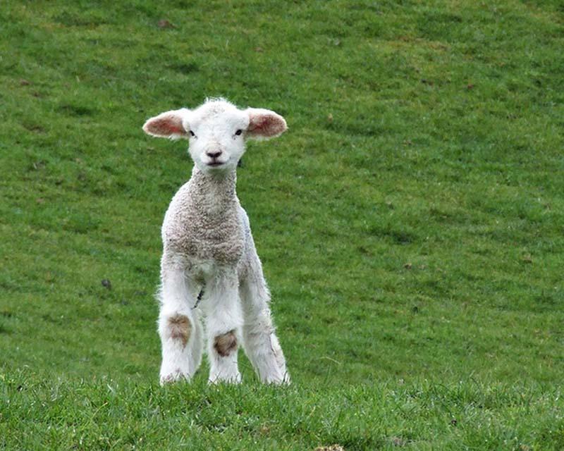 Fuzzy Little Lamb 5 Умильные ягнята