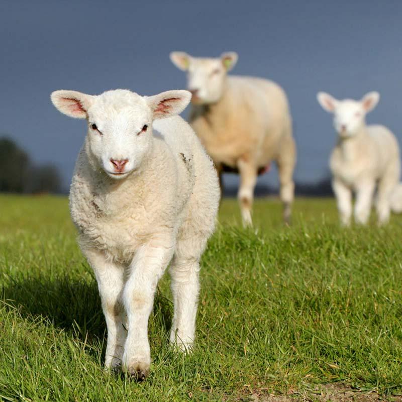 Fuzzy Little Lamb 6 Умильные ягнята