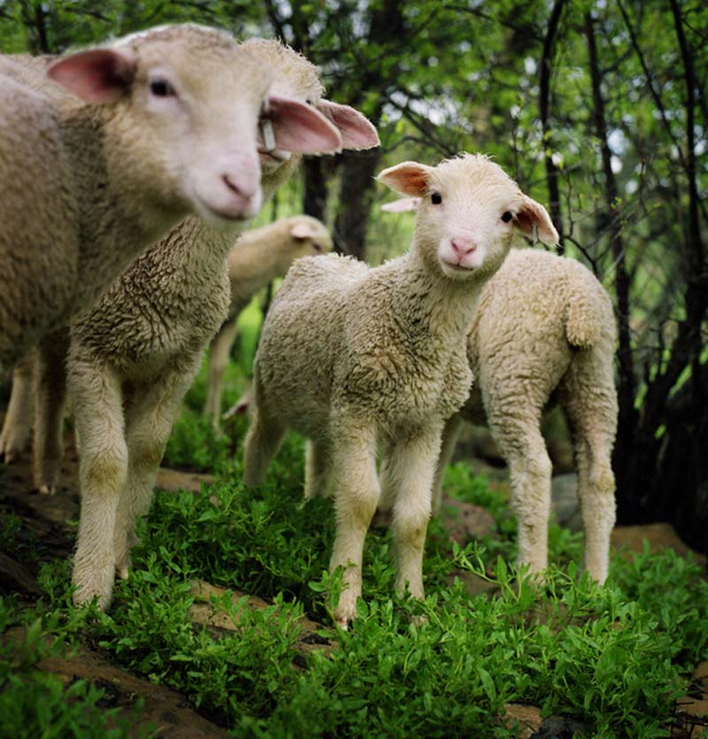 Fuzzy Little Lamb 7 Умильные ягнята