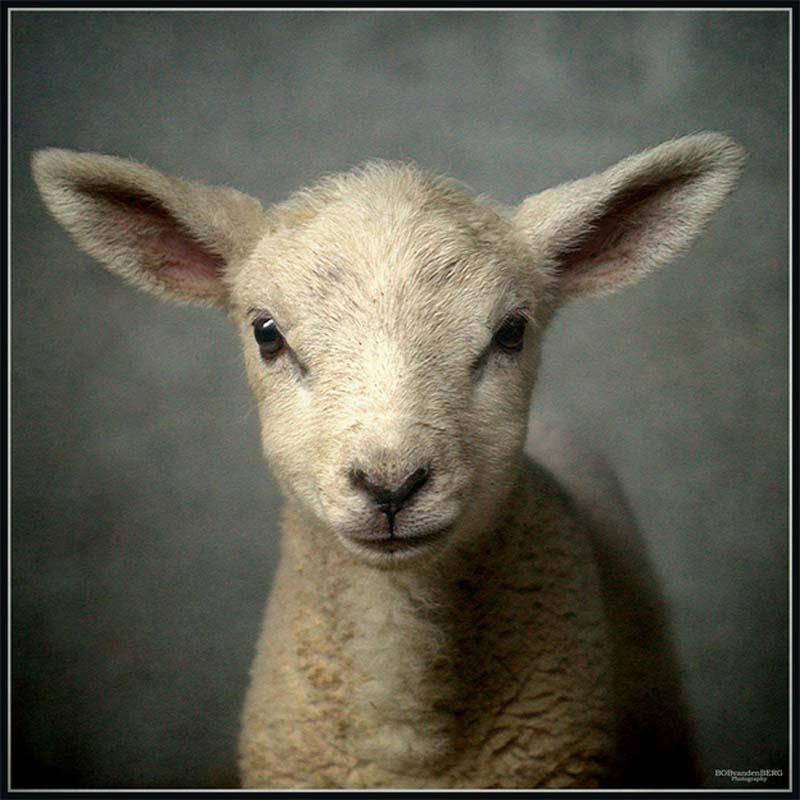 Fuzzy Little Lamb 8 Умильные ягнята