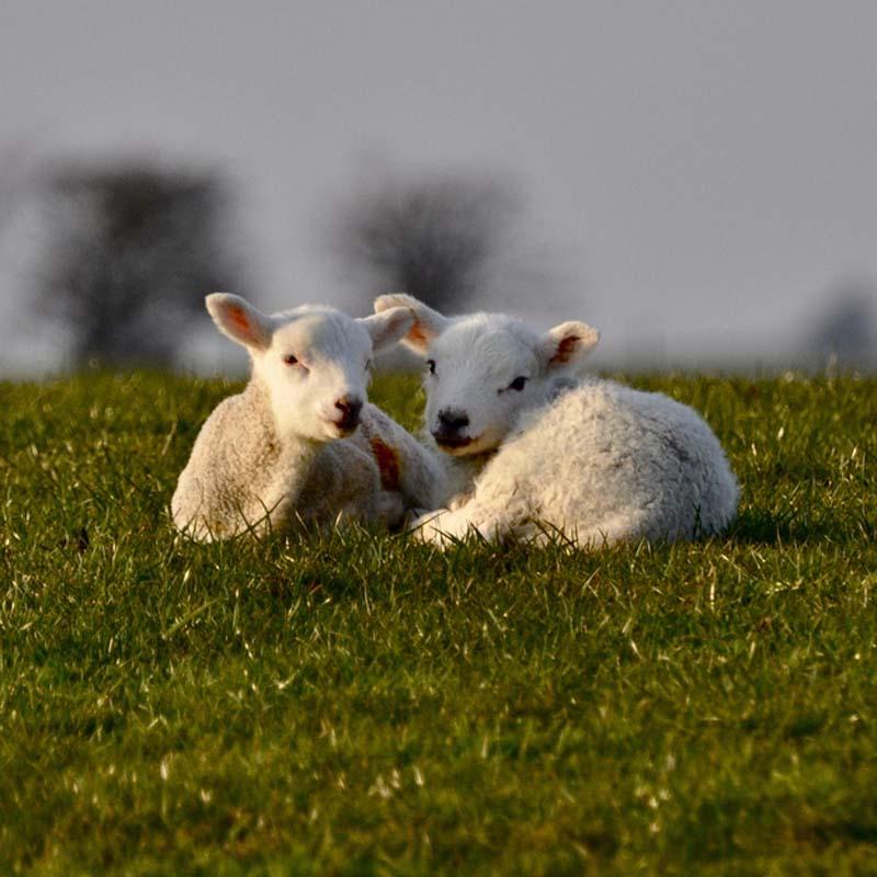 Fuzzy Little Lamb 9 Умильные ягнята