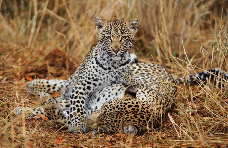 Африканские леопарды в фотографиях Грега дюТуа
