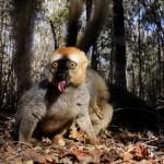 Мадагаскарские лемуры в фотографиях Паоло Торкио