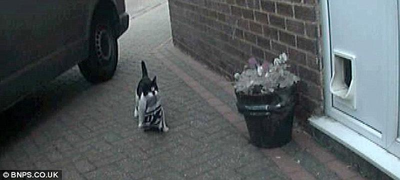 Real life cat 2 Кот воришка таскает вещи у соседей