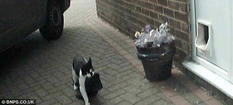 Real life cat 3 Кот воришка таскает вещи у соседей
