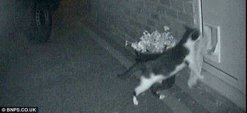 Real life cat 4 Кот воришка таскает вещи у соседей