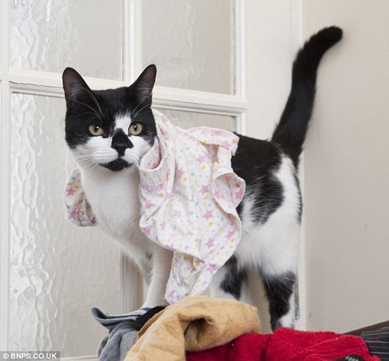 Кот-воришка таскает вещи у соседей