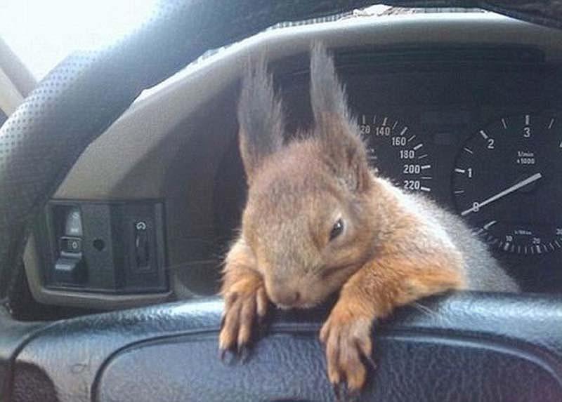 The squaddie and the squirrel 6 Военный вырастил бельчонка