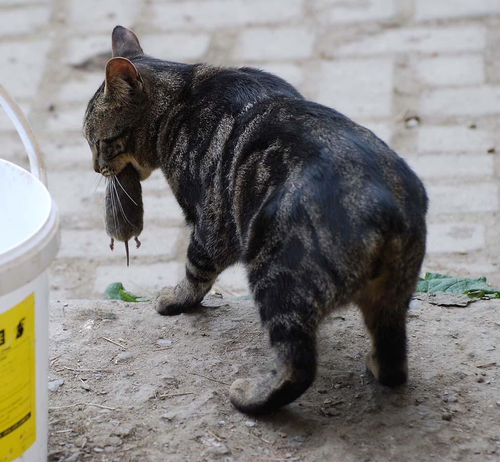 Top 10 Pedigreed Cat Breeds 3 Десятка самых популярных пород кошек в США