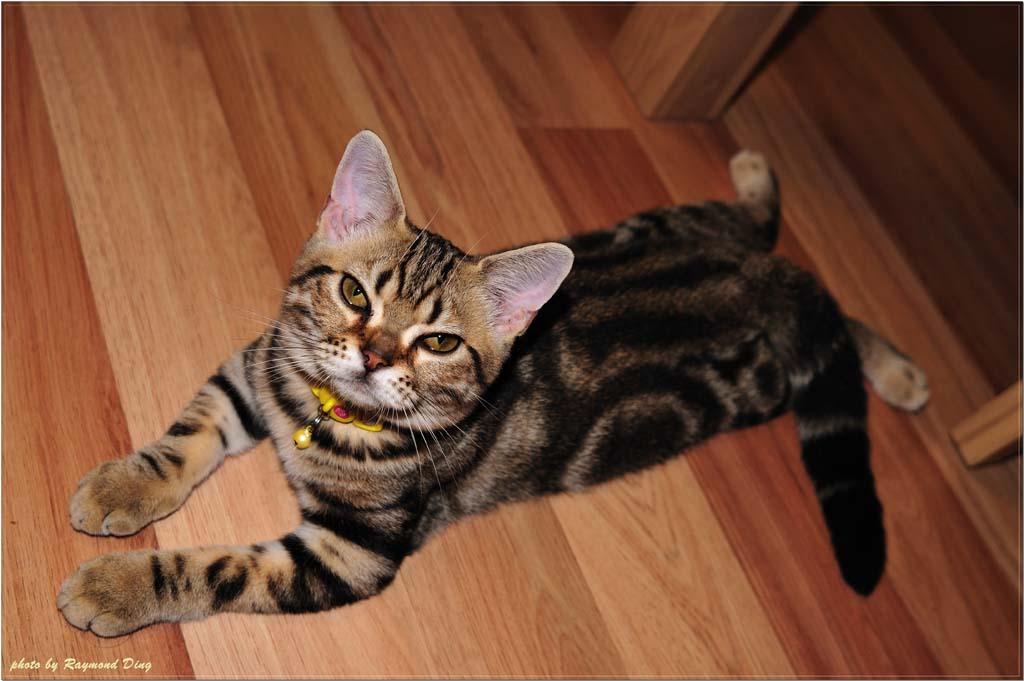 Top 10 Pedigreed Cat Breeds 4 Десятка самых популярных пород кошек в США