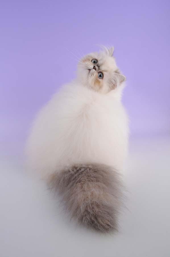 Top 10 Pedigreed Cat Breeds 5 Десятка самых популярных пород кошек в США